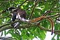 Red-tailed monkey (Cercopithecus ascanius), Semliki Wildlife Reserve.jpg