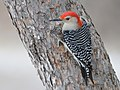 Red Bellied Woodpecker (196777639).jpeg