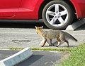 Red Fox3 (6330241215).jpg