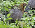 Red Junglefowl (Gallus gallus) - second female - Flickr - Lip Kee.jpg