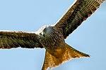 Red Kite - Scotland (36089594581).jpg