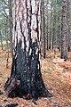 Red Pine at Seney National Wildlife Refuge (15274411138).jpg