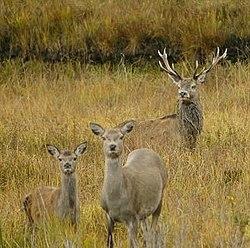 hjortdjur � wikipedia