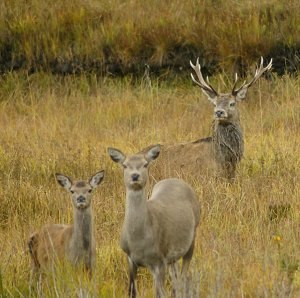 Red deer - Stag and hinds