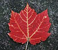 Red maple leaf (cropped).jpg