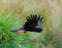 Red tailed Black Cockatoo in flight.jpg