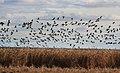 Reeds and Barnacle Geese.jpg