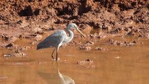 File:Reef heron.webm