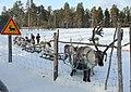 Reindeer farm, Inari, Suomi - Finland 2013-03-10 f.jpg