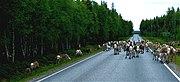 Reindeer road block Kuusamo