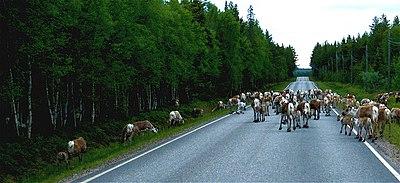 Renflock spärrar vägen utanför Kuusamo