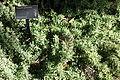 Rhagodia spinescens - Leaning Pine Arboretum - DSC05454.JPG