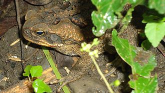 Poisonous amphibian - Cane toads are a big problem in Australia, because the native predators are unaware of this toad's toxic skin and soon die when they devour this foreign amphibian.