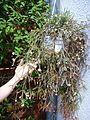 Rhipsalis pilocarpa, habitus 01.jpg
