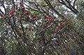 Rhododendron-pauri.JPG