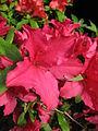 Rhododendron 'Ernst Thiers' 03.JPG