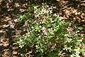 Rhododendron atlanticum Choptank 3zz.jpg