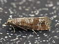 Rhyacionia pinivorana (8723386912).jpg