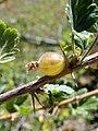 Ribes uva-crispa. Bruselar.jpg