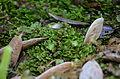 Riccardia sp - Aneuraceae.JPG