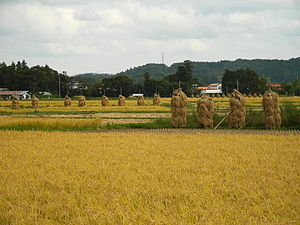 Wakayanagi, Miyagi - Rice paddy in autumn (September 2005)
