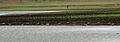 River Tern (Sterna aurantia) W IMG 0116.jpg