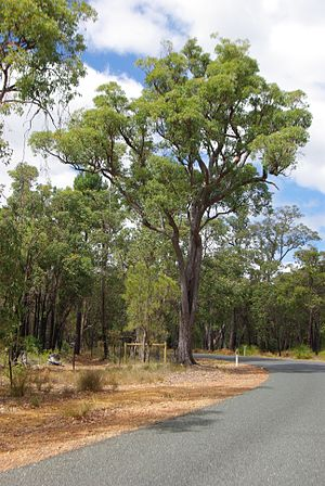Eucalyptus marginata - Roadside Jarrah tree in Darling Range