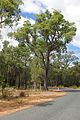 Roadside JarrahTree in Darling Range.jpg