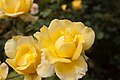 Rosa 'Mountbatten' IMG 4406.jpg