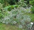 Rosa glauca plant (08).jpg
