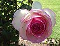 Rosa meiviolin.jpg