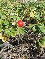 Rosa rugosa fruit (23).jpg