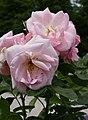 Rosarium Baden Rosa 'Astrid Lindgren' Oelsen 1989 02.jpg