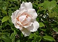 Rosarium Baden Rosa 'Dove' Austin 1984 01.jpg