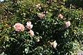 Rose flowers at Ventnor Botanic Garden in August 2011 2.JPG