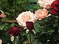 Rose from Lalbagh flower show Aug 2013 8560.JPG
