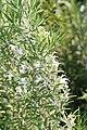 Rosmarinus officinalis Hill Hardy 3zz.jpg