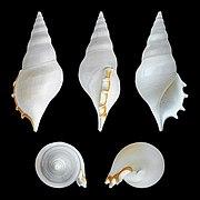 Rostellariella delicatula 01