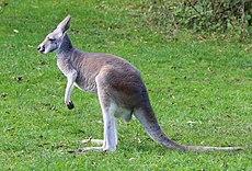 Rotes Riesenkaenguru Macropus rufus Tierpark Hellabrunn-12.jpg
