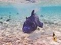 Rotzahndrücker. Blue triggerfish, Pseudobalistes fuscus DSCF6022ОВ.jpg