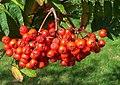 Rowan berries, Crombie - geograph.org.uk - 544231.jpg