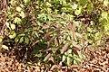 Rubus illecebrosus (leaf s5).jpg