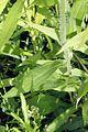 Rudbeckia hirta BLACK-EYED SUSAN (4681827547).jpg