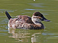 Ruddy Duck female RWD.jpg