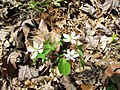 Rue Anemone Nature Hike Duke Forest Durham NC 0277 (26602547391).jpg
