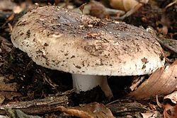 Russula nigricans - Lindsey 3a.jpg