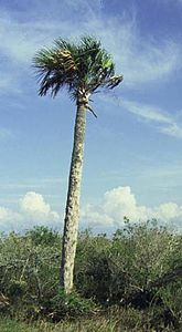 Sabal palmetto.jpg
