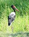 Saddle-billed Stork (Ephippiorhynchus senegalensis).jpg