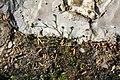 Sagina procumbens plant (30).jpg