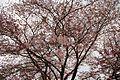 Sakura (6969736052).jpg